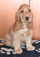 Tiffany Diamond Zucht - English Cocker Spaniel – FCI Welpen