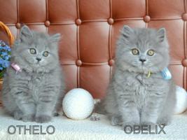Foto 3 Tolle BKH blau Babys
