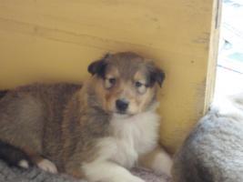 Foto 7 Tolle Familiehunde Langhaar Collie Welpen