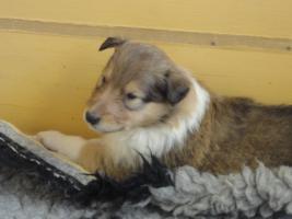 Foto 6 Tolle Familiehunde Langhaar Collie Welpen