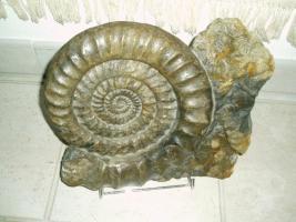 Tolle Fossilien aus Holzmaden