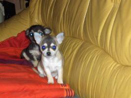 Toller Chihuahua Rüde Kurzhaar