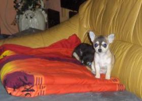 Foto 2 Toller Chihuahua Rüde Kurzhaar