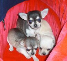Foto 4 Toller Chihuahua Rüde Kurzhaar