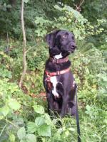 Foto 3 Tommy - Labradormischling aus dem Tierschutz