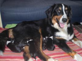 Top Familienhund, Australian Shepherd Berner Sennen Hundewelpen