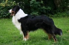 Foto 2 Top Familienhund, Australian Shepherd Berner Sennen Hundewelpen