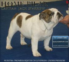 Foto 4 Top-Qualität Englisch Bulldogge Welpe zum Verkauf