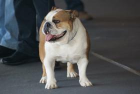 Foto 5 Top-Qualität Englisch Bulldogge Welpe zum Verkauf