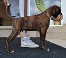 Foto 3 Top-Qualität Wurf der deutschen Boxer zu verkaufen