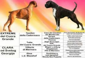 Foto 7 Top-Qualität Wurf der deutschen Boxer zu verkaufen