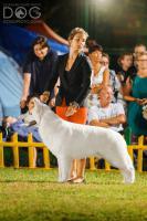 Top Swiss weißen Schäferhund Welpen zum Verkauf