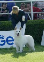 Foto 2 Top Swiss weißen Schäferhund Welpen zum Verkauf