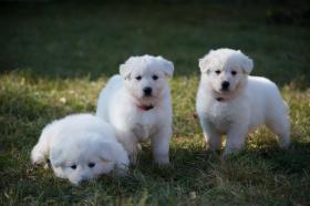 Foto 3 Top Swiss weißen Schäferhund Welpen zum Verkauf