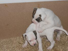 Foto 5 Top Wurf von American Bulldog