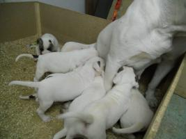 Foto 6 Top Wurf von American Bulldog