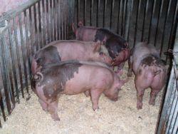 Foto 2 Topf Bauch Schweine und Ferkel zu verkaufen