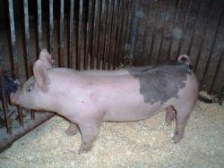 Foto 3 Topf Bauch Schweine und Ferkel zu verkaufen