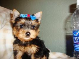 Foto 3 Total süsse Yorkshire Terrier Welpen