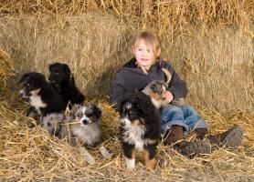 *****Toy und Mini Australian Shepherd Welpen*****