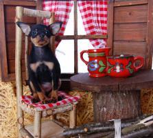 Foto 2 Toy Terrier kleine Welpen abzugeben. (Russkiy Toy MINI)