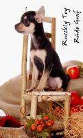 Foto 6 Toy Terrier kleine Welpen abzugeben. (Russkiy Toy MINI)
