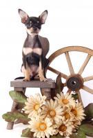 Foto 7 Toy Terrier kleine Welpen abzugeben. (Russkiy Toy MINI)