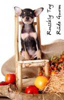 Foto 8 Toy Terrier kleine Welpen abzugeben. (Russkiy Toy MINI)