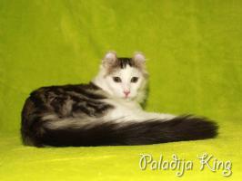 Foto 3 Tramhaft schöner American Curl Kater m.P.