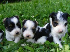 !!!Traumhaft schöne Biewer Yorkshire Terrier Welpen aus liebevoller Hausaufzucht!!!