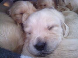 Foto 3 Traumhafte Golden Retriever Welpen