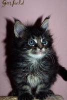Traumhafte Maine Coon Kitten mit mega Lynxtips!!