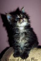 Foto 2 Traumhafte Maine Coon Kitten mit mega Lynxtips!!
