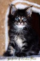 Foto 4 Traumhafte Maine Coon Kitten mit mega Lynxtips!!