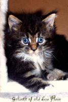 Foto 6 Traumhafte Maine Coon Kitten mit mega Lynxtips!!