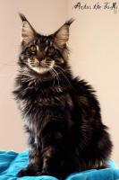 Foto 8 Traumhafte Maine Coon Kitten mit mega Lynxtips!!