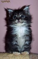 Foto 9 Traumhafte Maine Coon Kitten mit mega Lynxtips!!
