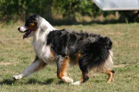 Foto 3 Traumhafte, exclusive Australian Shepherd Deckrüden ASCA + AKC