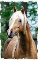 Foto 4 Traumhafter Goldpalominohengst deckt
