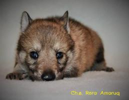 Foto 4 Tschechoslowakische Wolfshund mit PP