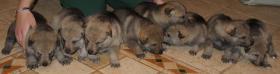 Tschechoslowakische Wolfshund-Welpen