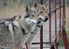 Tschechoslowakischen Wolfshund FCI Welpen