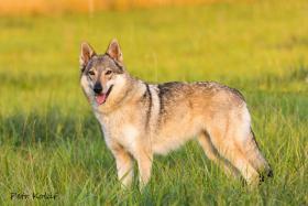 Foto 2 Tschechoslowakischer Wolfhund mit Herkunftsausweis