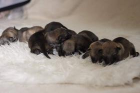 Foto 3 Tschechoslowakischer Wolfhund mit Herkunftsausweis