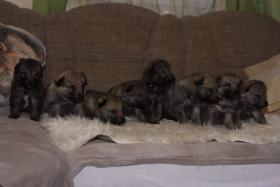 Foto 4 Tschechoslowakischer Wolfhund mit Herkunftsausweis