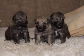 Foto 5 Tschechoslowakischer Wolfhund mit Herkunftsausweis