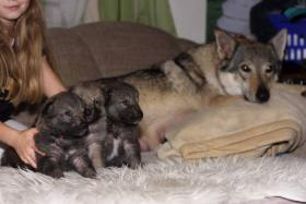 Foto 6 Tschechoslowakischer Wolfhund mit Herkunftsausweis