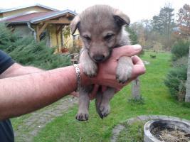 Tschechoslowakischer Wolfhund mit Papiere