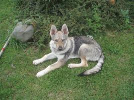 Foto 2 Tschechoslowakischer Wolfhund mit Papiere