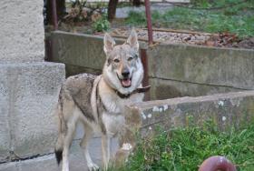 Foto 3 Tschechoslowakischer Wolfhund Welpen